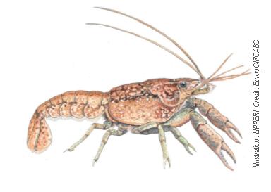 Procambarus virginalis , Procambarus fallax f.virginalis